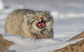 Картинка снег, оскал, Манул, дикая кошка, Палласов кот