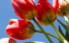 Картинка небо, макро, тюльпаны