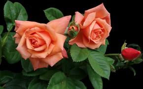 Картинка фон, черный, куст, розы, лепестки, оранжевые, бутоны
