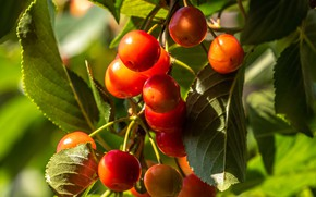 Картинка лето, листья, макро, ветки, ягоды, плоды, черешня, сочные, висят