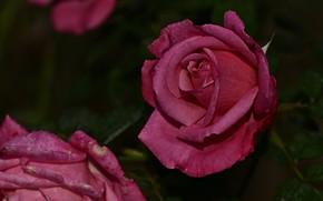 Картинка капли, цветы, темный фон, розы, сад, розовые