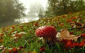 Картинка утро, осенние, мухомор, природа, туман, деревья, берег, поляна, грибочек, дубовые, водоем, листья, лес, трава, осень, …