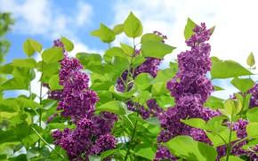 Картинка цветы, ветки, весна, цветение, сирень, соцветия