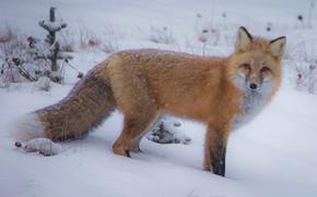 Картинка зима, взгляд, снег, лиса, хвост, рыжая