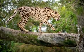 Картинка дерево, хищник, гепард