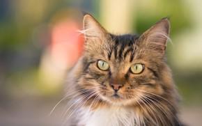 Картинка кошка, кот, взгляд, морда, серый, фон, портрет, котик, пушистый, полосатый, боке