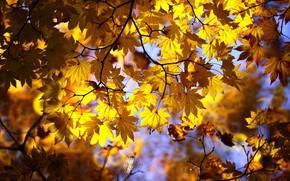 Картинка осень, листья, свет, ветки, желтые, кленовые, осенние листья