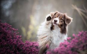 Картинка лето, взгляд, морда, цветы, природа, поза, фон, лапа, портрет, собака, сиреневые, боке, австралийская овчарка, пятнистая, …