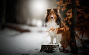 Картинка зима, лес, взгляд, морда, листья, снег, ветки, природа, поза, парк, темный фон, дерево, пень, собака, …
