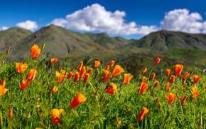 Картинка цветы, луг, Калифорния, California, эшшольция калифорнийская, Walker Canyon, калифорнийские маки