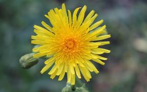 Картинка цветок, желтый, похож на одуванчик