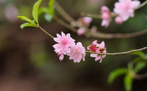 Картинка природа, ветка, персики, цветение, боке