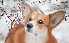Картинка взгляд, ветки, собака, уши, мордашка, Вельш-корги, Наталия Поникарова