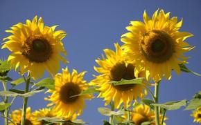Картинка солнце, подсолнухи, цветы, обои, подсолнух, лепестки, flowers, желтые лепестки, поле подсолнухов