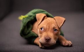 Картинка взгляд, одежда, собака, рыжий, костюм, капюшон, щенок, лежит, кофточка, мордашка, питбуль, боке, питбультерьер