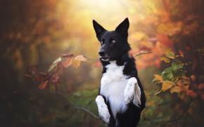 Обои осень, лес, взгляд, морда, листья, ветки, желтый, природа, поза, зеленый, парк, фон, листва, черно-белая, портрет, ...
