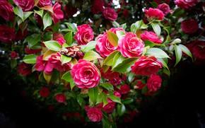 Картинка цветы, темный фон, дерево, красота, розовые, цветение, много, боке, камелии