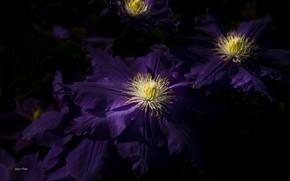 Картинка фиолетовый, клематис, ломонос