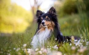 Картинка зелень, лес, лето, трава, взгляд, морда, поза, парк, поляна, черно-белая, портрет, ромашки, собака, милый, щенок, …