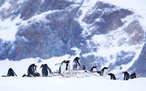 Картинка зима, снег, горы, птицы, природа, пингвины, сугробы, пингвин, компания, снегопад, много, боке, стая птиц, Антарктида, …