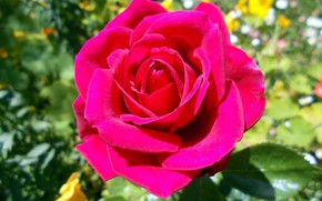 Картинка фон, роза, ярко розовая
