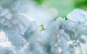 Картинка макро, цветы, зеленый, фон, светлый, размытие, богомол, насекомое, белые, цветение, боке