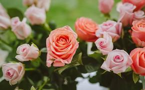 Картинка roses, beautiful flowers, light pink