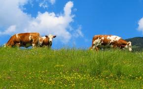 Картинка зелень, поле, лето, небо, трава, морда, облака, цветы, природа, синева, голубое, поляна, корова, желтые, коровы, …