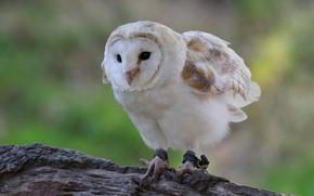 Картинка фон, сова, птица, белая, бревно, сипуха