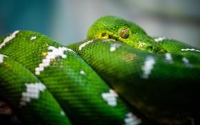 Картинка взгляд, змея, питон, зеленая, рептилия