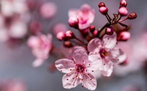 Картинка макро, вишня, ветка, весна, цветение, цветки, боке, цветущая вишня, бутончики