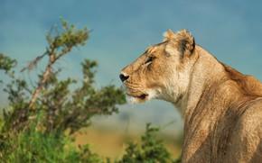 Картинка природа, животное, хищник, лев, голова, профиль, Ботев Калин
