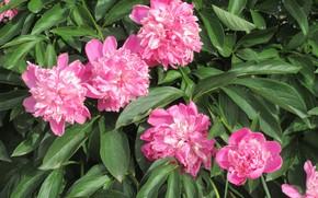 Картинка цветы, куст, весна, пионы, 2018, Mamala ©