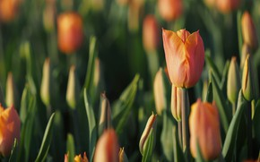 Картинка поле, цветок, цветы, тюльпан, весна, тюльпаны, оранжевые, бутоны, много