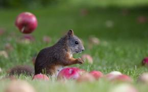 Картинка яблоки, белка, боке