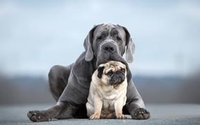Картинка собаки, портрет, пара, друзья, две собаки, Мопс, Кане-корсо