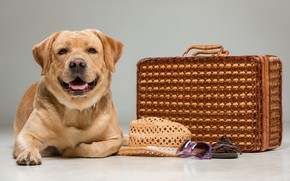 Картинка взгляд, собака, шляпа, чемодан, лабрадор, beautiful, labrador
