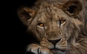 Обои взгляд, морда, крупный план, портрет, лев, лапы, лежит, черный фон, дикая кошка