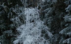 Картинка зима, иней, снег, деревья, природа