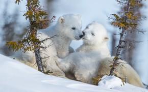 Картинка зима, снег, природа, медвежата, белые медведи, два медвежонка