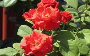 Картинка цветы, розы, красные розы, весна 2018, Meduzanol ©