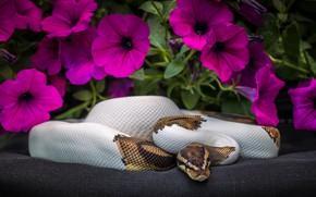 Картинка цветы, змея, Питон, петуния