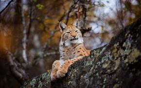 Обои осень, лес, кошка, взгляд, морда, ветки, природа, фон, дерево, лапы, красавица, лежит, рысь, дикая, гордая