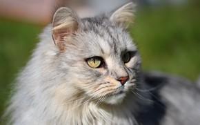 Картинка кошка, кот, взгляд, морда, свет, портрет, серая, пушистая