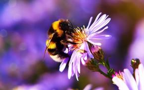 Картинка цветок, лето, макро, цветы, пчела, фон, сиреневый, насекомое, астра, шмель, боке