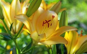 Картинка цветок, цветы, бутоны, жёлтая лилия