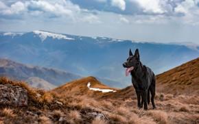 Картинка взгляд, горы, собака