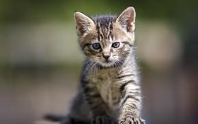 Картинка кошка, взгляд, котенок, серый, малыш, мордочка, котёнок, полосатый