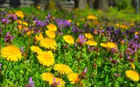 Картинка Поляна, Цветочки, одуванчики, Flowers, Цветение, Flowering