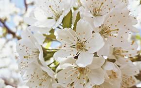 Картинка Весна, Сад, Лепестки, Нежность, Черешня, Цветение, Беларусь